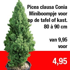 Picea-clausa-Conia
